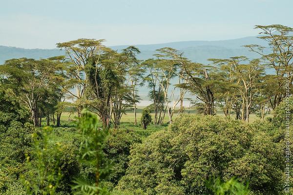 Yellow Barked Acacia Trees