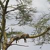 Lofty perch of leopard