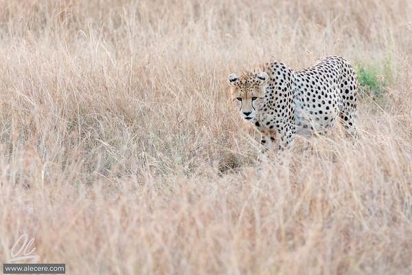 Cheeta in the grass