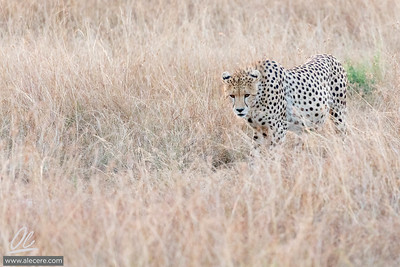 Cheeta in the grass