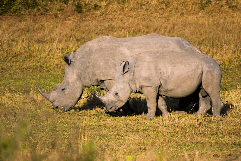 A female white rhino grazing with its baby. The white rhinoceros or square-lipped rhinoceros (ceratotherium simum) is one of the few megafauna species left. Behind the elephant, it is the most massive remaining land animal in the world. It is known for its wide mouth used for grazing.