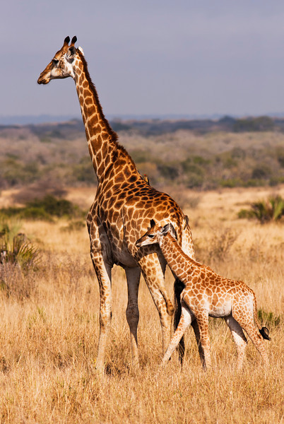 A baby giraffe calf with its mother; looking closely, there are two cowbirds on the back of mama doing some cleaning. The giraffe (giraffa camelopardalis) is an African even-toed ungulate mammal, the tallest of all land-living animal species, and the largest ruminant. Giraffes inhabit savannas, grasslands, or open woodlands.