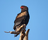 The bateleur (terathopius ecaudatus) is a medium-sized eagle in the bird family accipitridae. This is a common resident species of the open savanna country in Sub-Saharan Africa, including South Africa.