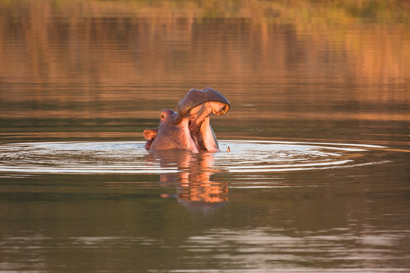 The open mouth of a hippoopotamus, illuminated by the glow of sunset. The hippopotamus (hippopotamus amphibius) is a large, mostly plant-eating African mammal. The hippopotamus is semi-aquatic, inhabiting rivers and lakes in sub-Saharan Africa in groups (or rafts) of 5-30 hippos. During the day they remain cool by staying in water or mud.They emerge at dusk to graze on grass.