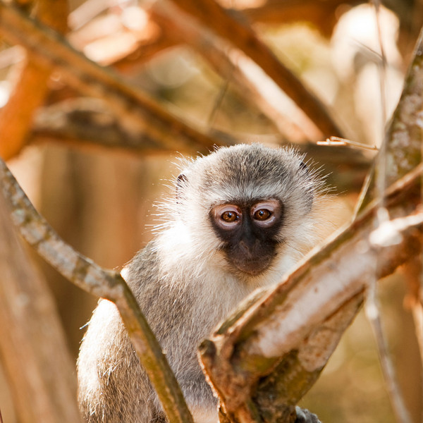 A vervet monkey (chlorocebus pygerythrus) watchiing us while we wait managed to steal a banana from our table. Vervets are Old World monkeys that inhabit savanna lands and mountains throughout much of Southern and East Africa.