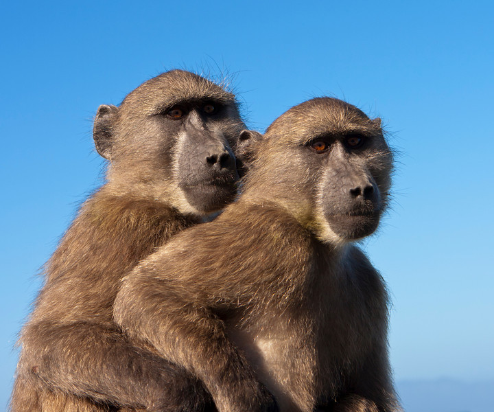Two chacma baboons (papio ursinus) are outlined against the sky. These two monkeys, part of a large troop, were sitting on top of a car near the Cape of Good Hope in South Africa. Chacma baboons are African Old World monkeys and are some of the largest non-hominid members of the primate order.