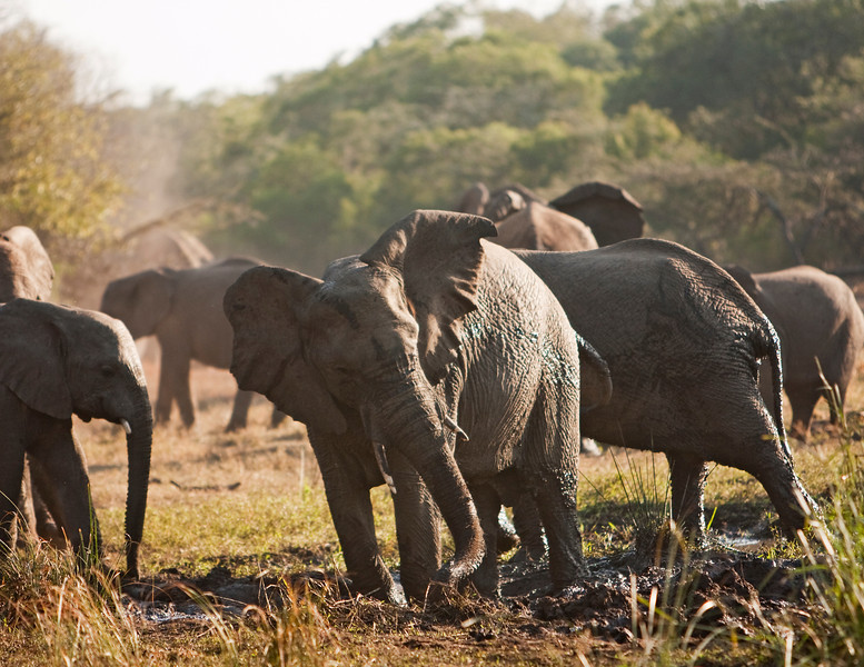 An African elephant herd (loxodonta africana) in a mud bath. Elephants like to wallow in mud as a way of cooling off. This particular group was moving through the area quickly on the way to breakfast.