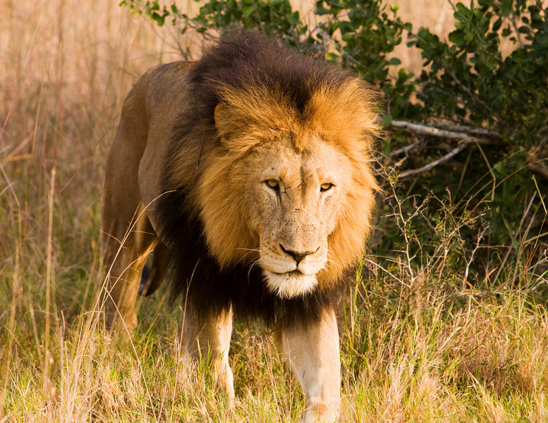 A male lion, viewed on safari, is walking firectly towards our vehicle. The lion (panthera leo) is a member of the family Felidae. They typically inhabit savanna and grassland, although they may take to bush and forest. A pride of lions consists of related females and offspring and a small number of adult males.