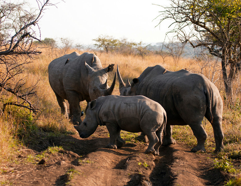 A gathering of a male, female and young rhinos. The white rhinoceros or square-lipped rhinoceros (ceratotherium simum) is one of the few megafauna species left. Behind the elephant, it is probably the most massive remaining land animal in the world.