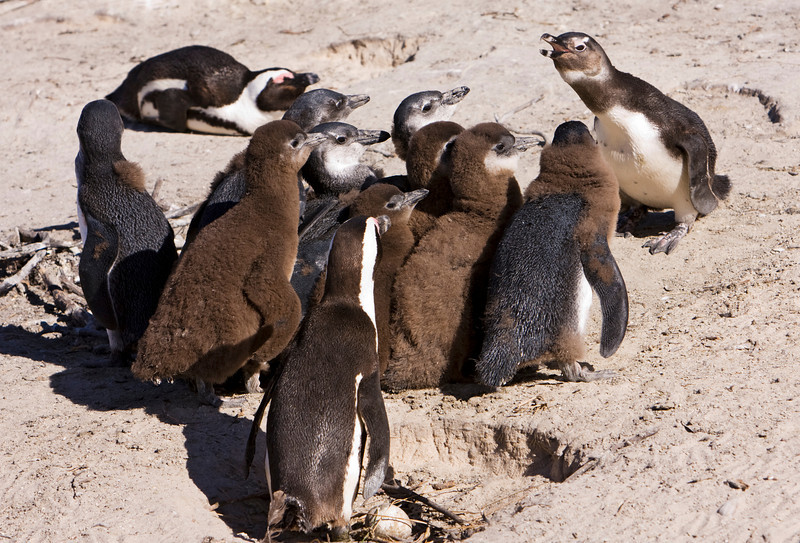 A single penguin appears to be giving a squawking to a group of juvenile penguins. The African Penguin (spheniscus demersus) or Black-footed Penguin is found on the south-western coast of Africa including this beach near Simon's Town, South Africa. The bird was formerly known as the Jackass Penguin.