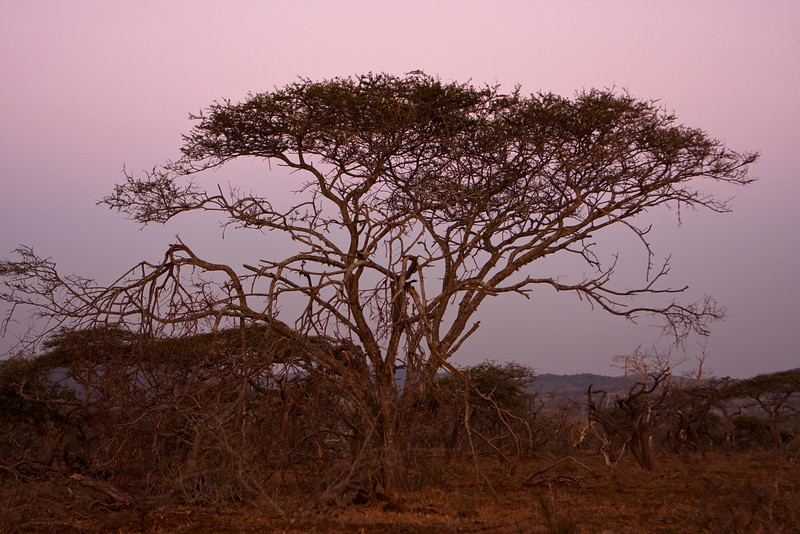 An Acacia tree, sometimes referred to as a thorntree or thorn tree, on the South African savannah after sundown. The sky is a deep purple from the dusk.