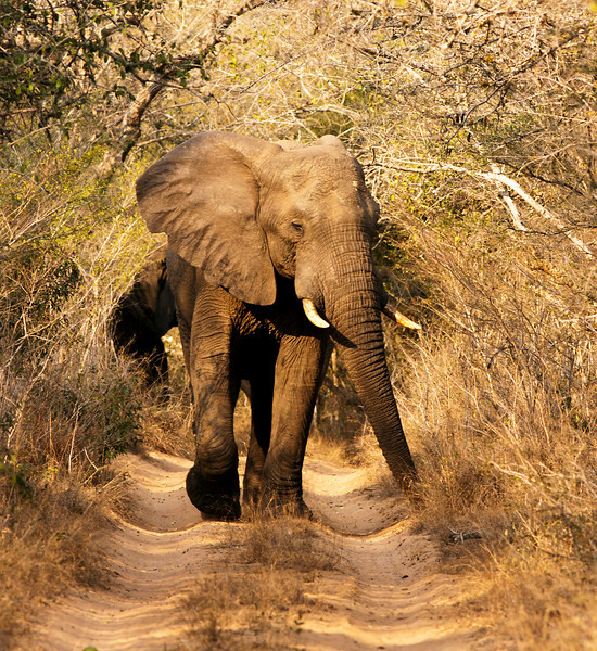 An African elephant bull (loxodonta africana) walking towards us on a dirt road in the Phinda game reserve. African elephants are the largest land mammals or megafauna walking the earth.