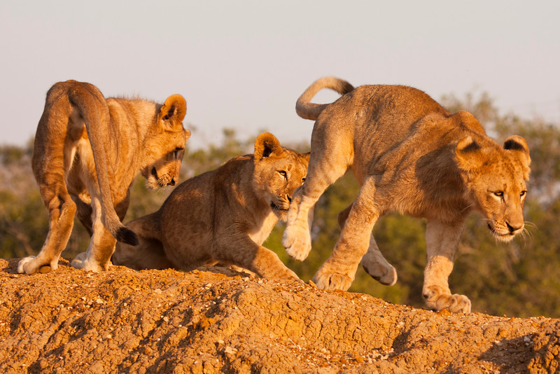 Three young lion cubs, part of a pride or family unit, playing together on a game preserve. Lions (panthera leo) are a member of the family Felidae and typically inhabit savanna and grassland.