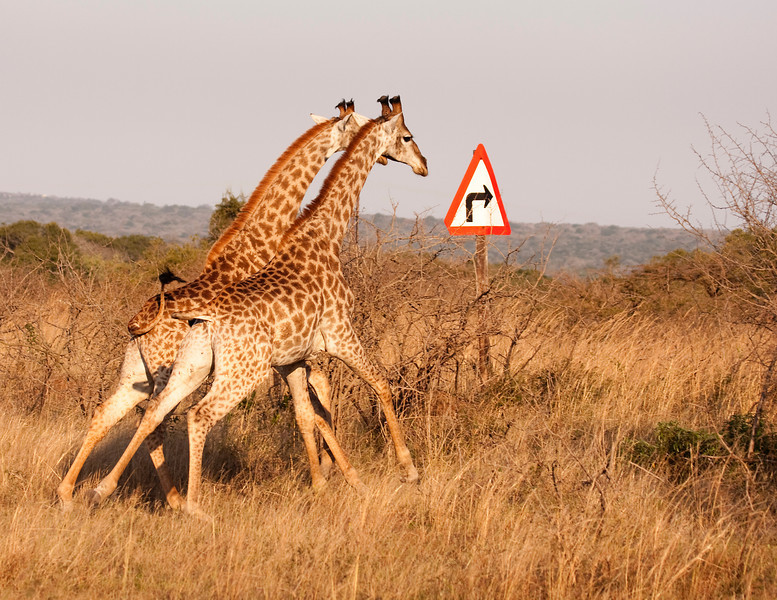 Two giraffes (giraffa camelopardalis) running across the savannah are appearing to follow the directions onthe sign. The giraffe is an African ungulate mammal, the tallest of all land-living animal species, and the largest ruminant. Giraffes can inhabit savannas, grasslands, or open woodlands.
