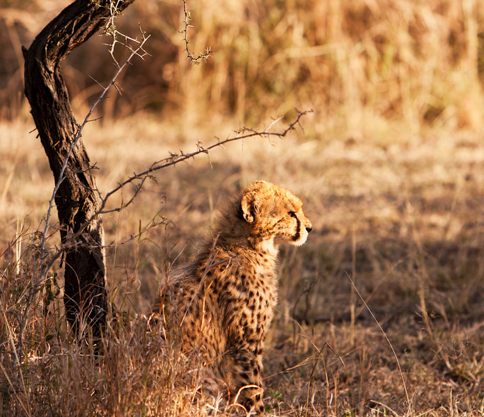 An alert young cheetah cub sitting in sunlight. The cheetah (acinonyx jubatus) is a member of the cat family (felidae). It is the fastest land mammal, yet lacks the climbing abilities of other cats.
