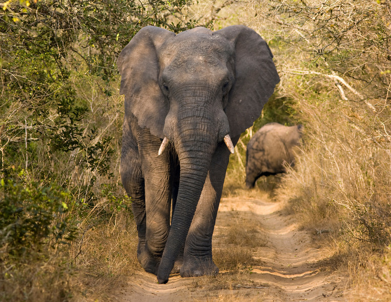 An African bull elephant (loxodonta africana) walking down a narrow dirt road is alertly watching our vehicle. African elephants are the largest land mammals walking the earth today and are endangered in many areas.