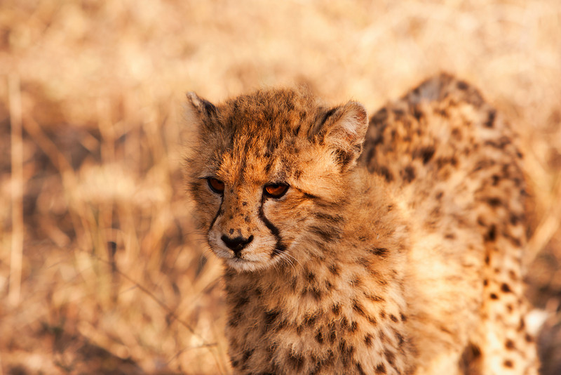 A young cheetah cub looking at the front of our truck while on safari in South Africa.