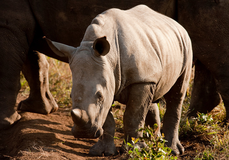A small baby rhino calf standing in sunlight. In the back, its mother is providing protection. The white, or square-lipped, rhinoceros (ceratotherium simum) is one of the few megafauna species left but is currently an endangered species.