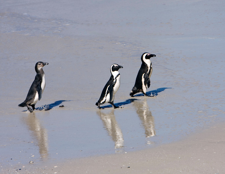 Two adults and one juvenile penguin are walking along the surf line on a beach near Simon's Town, South Africa. The African Penguin (spheniscus demersus) or Black-footed Penguin is found on the south-western coast of Africa. The bird was formerly known as the Jackass Penguin.