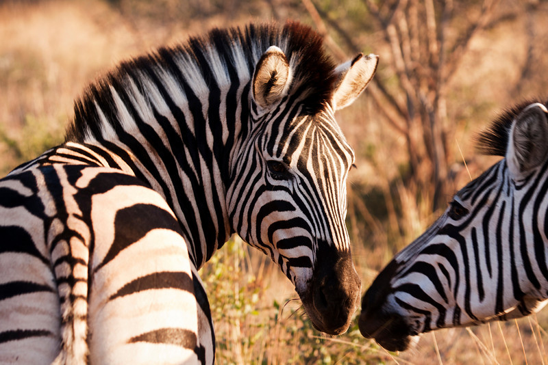 Two zebras touch their muzzles while moving through the brush at a game preserve in South Africa. With characteristic black and white stripes, zebras are odd-toed ungulates of the Equidae family native to eastern, southern and southwestern Africa
