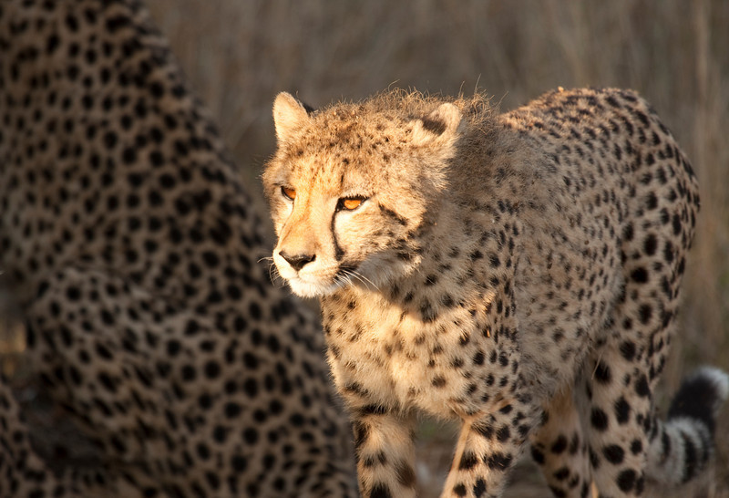 Young cheetah cub illuminated by sunlight shows glowing orange eyes. The flanks of it's mother show her spots in the background. The cheetah (acinonyx jubatus) is a member of the cat family (felidae). It is the fastest land mammal,yet lacks climbing abilities.