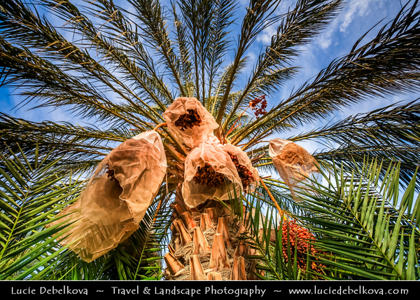 Northern Africa - Tunisia - The Sahara Desert - الصحراء الكبرى - The Greatest Desert - Tozeur - توزر, - Tuzer - Oasis with hundreds of thousands of Date Palm Trees with bags protecting dates from exposure to nature forces