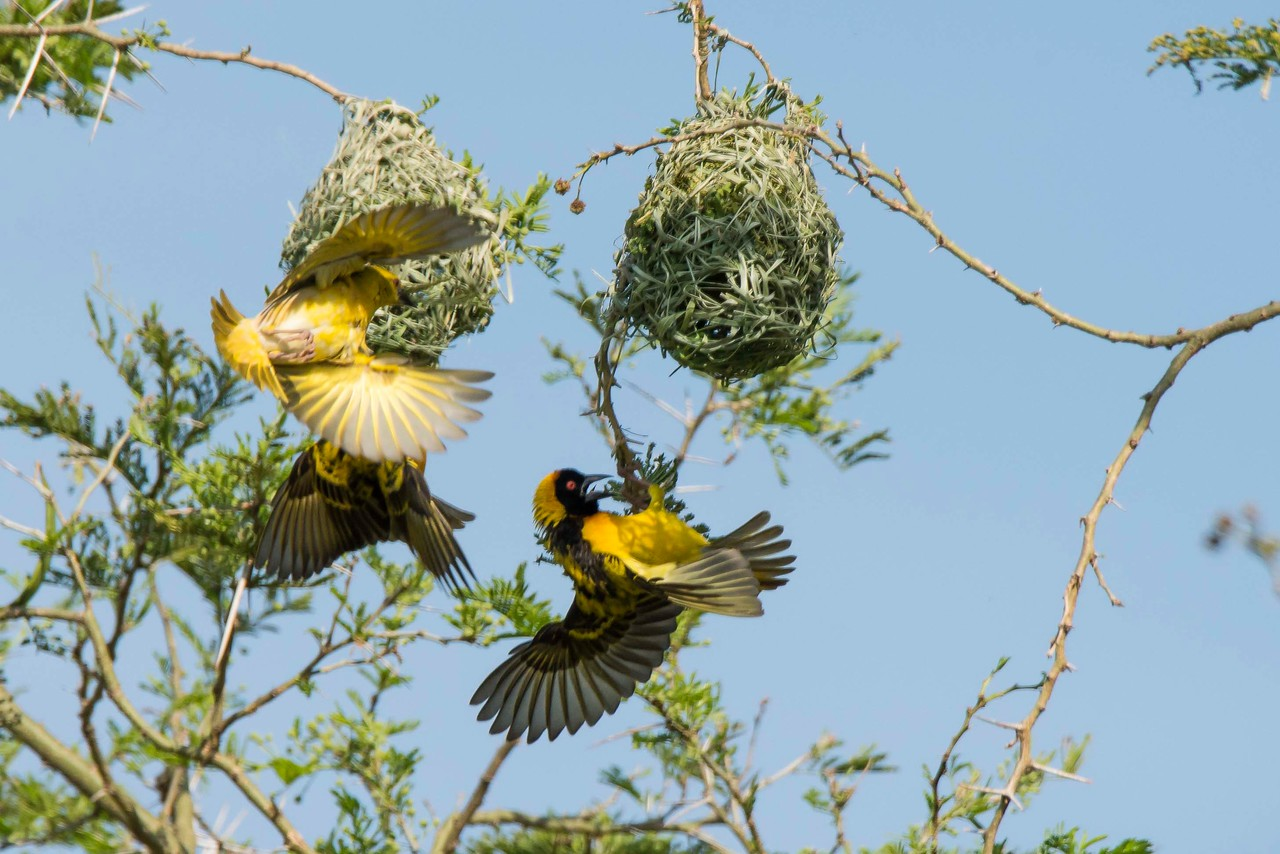 Yellow-backed Weavers