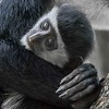 Abyssinian Black-and-white Colobus