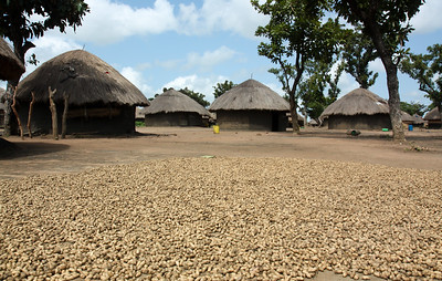 Internally Displaced People's Camp, with G-nuts (aka ground nuts or peanuts) in the foreground. Northern Uganda. 2008. With the dispersal of the LRA insurgent group that terrorized N. Uganda for 30 years, the displaced population finally have a chance to tentatively leave the camps of previously 40,000+ refugees, and return to their villages, slowly build up their crops and livestock, and not be dependent on the World Food Program and UNHCR for survival. At the time of this picture, many of the large refugee camps have downsized to populations of 2000-3000, with the creation of many satellite camps that would eventually be turned into village and trade centers, if peace holds. Much work still needs to be done to repair and rebuild the infrastructure, devastated economy, social services, and traumatized spirit of a very generous and resilient people.