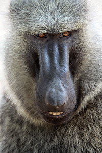 Baboon close-up. Queen Elizabeth National Park, Uganda.