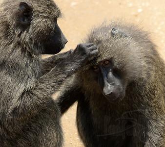 Grooming Baboons. Queen Elizabeth National Park, Uganda.