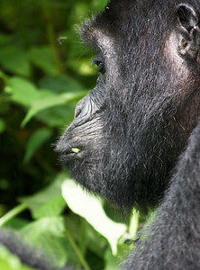 Profile of wild mountain gorilla enjoying morning foliage. Bwindi Impenetrable Forest, Uganda.