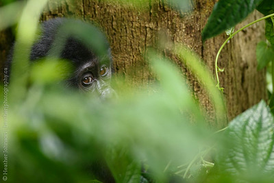 Juvenile Mountain  Gorilla