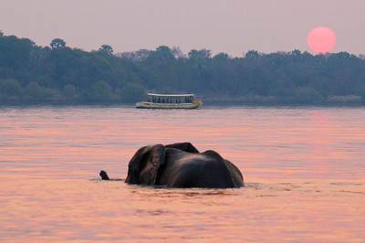 Elephant crossing the Zambezi River at sunset