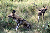 On way to airstrip, got transferred to our Land Rover group who'd spotted a pack of wild dogs…our first sighting.