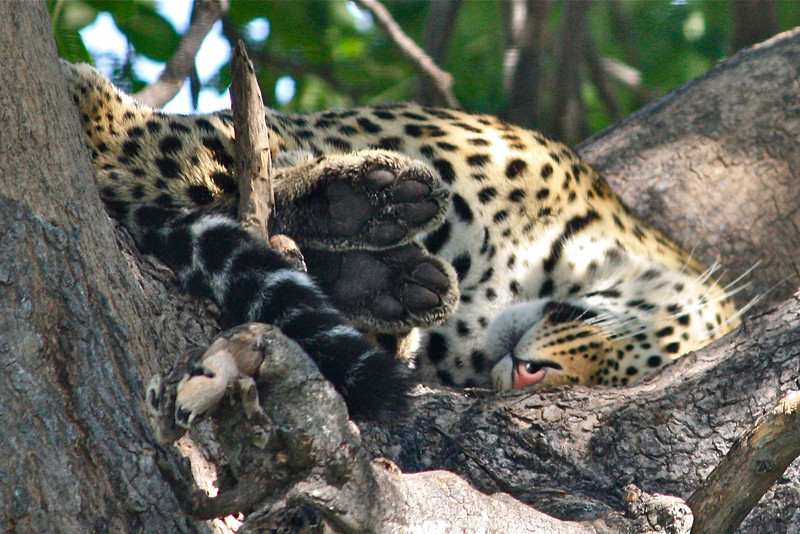 Let sleeping leopards lie…see his pink nose and don't you want to tickle his paws?