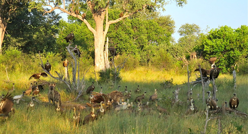 Hyenas and vultures devouring a 3 day old giraffe carcass.
