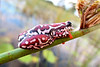 Red leaf reed frog