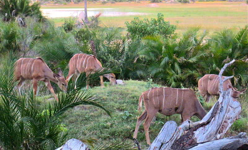 Kudu's feeding in front of our deck.