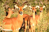 Rare to see impalas that didn't take flight as we got close.