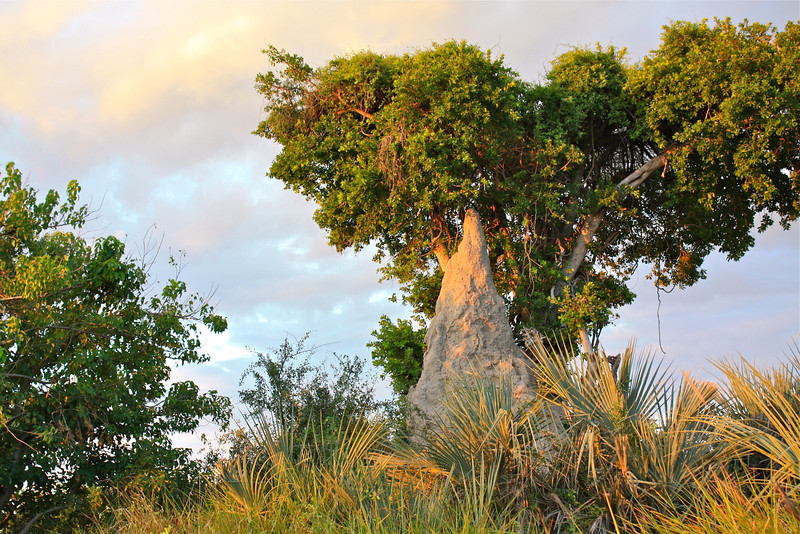 All the islands in the Okavango Delta started with a termite mound…bird droppings turn into trees…turn into islands.