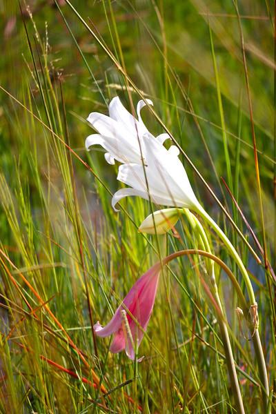 Swamp lillies.