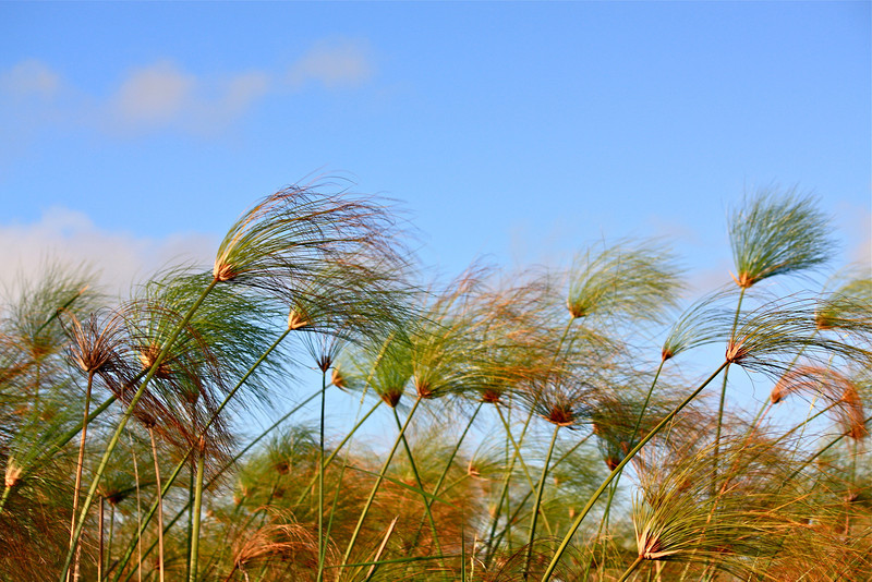 Papyrus fronds wave in the breeze.