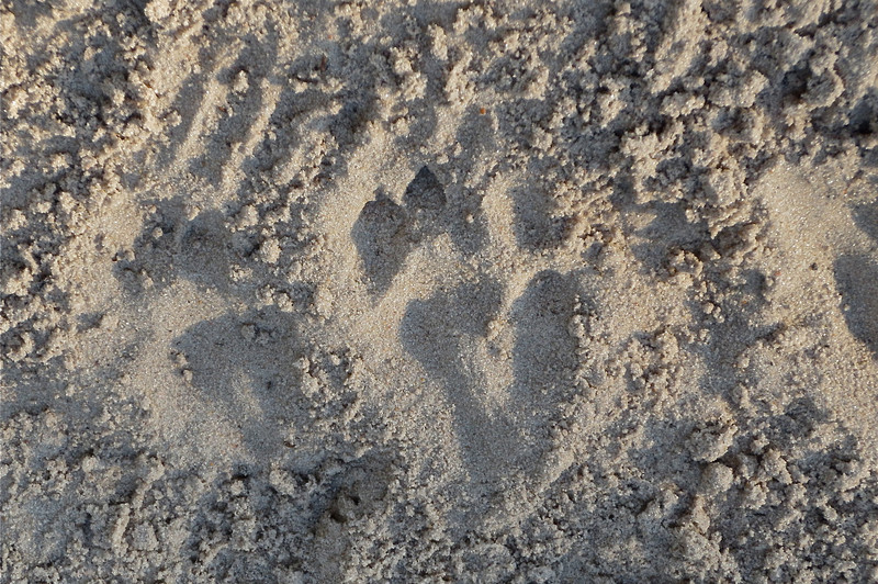 "Leopard tracks in our camp's ""news paper"" that shows who crossed over in the bridge in the night.  Early that morning, we'd heard the kudu's loud barking cries warning others that a leopard was around."
