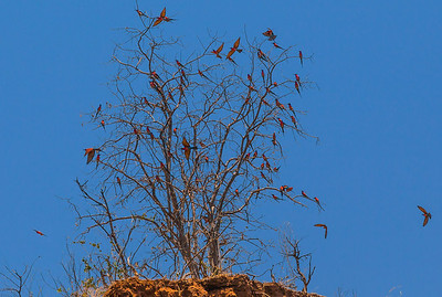 Lower Zambezi River, Zambia Carmine Bee-eaters were migrating as we traveled down the Zambezi River.