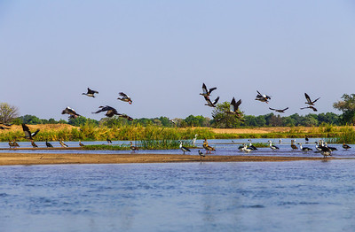 Lower Zambezi River, Zambia A flock of shorebirds taking off as we passed.