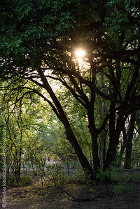 Mopane Forest