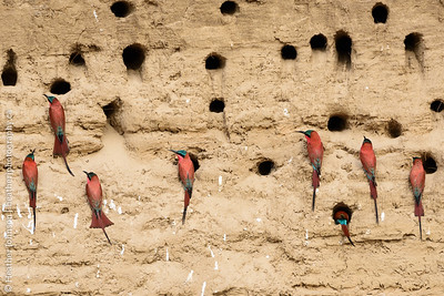 Bee-eater colony