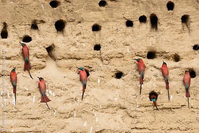 Bee-eater colony