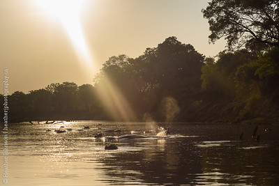 Hippos at Sunrise